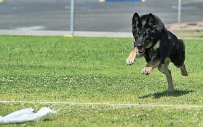 Lana's Coursing Ability