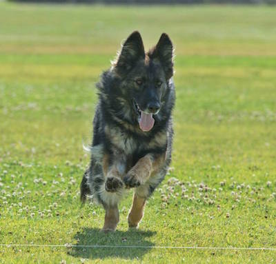 Maya's Coursing Ability