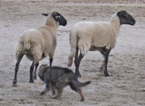 Maya pup sheep