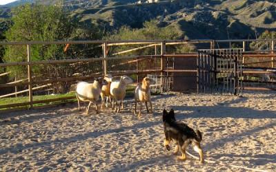 Puppy Instincts – Sheep!