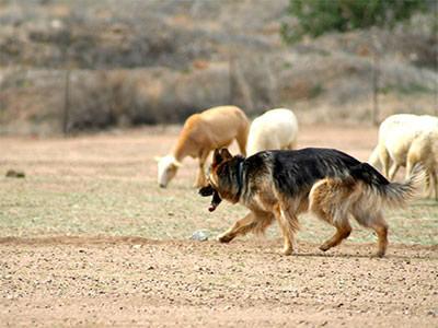 Our Herding Trials
