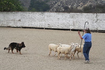 Ultimate A Course Herding